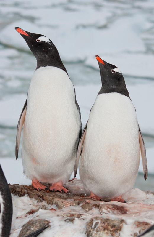Gentoo Penguins at Dingle Oceanworld