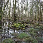 Killarney's Wet Woodlands