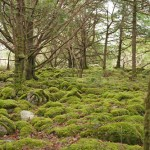 Killarney Yew Woodland